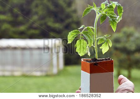 Farmer holding a tomato seedling growing in paper milk package with a hothouse in the blurred background
