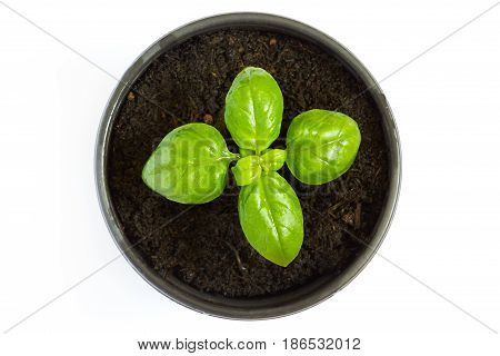 Young fresh basil plant in a pot just starting to grow. Isolated on white background. Top view