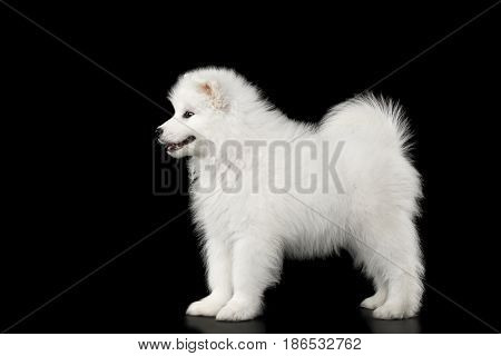 Cute White Samoyed Puppy Standing isolated on Black background, side view