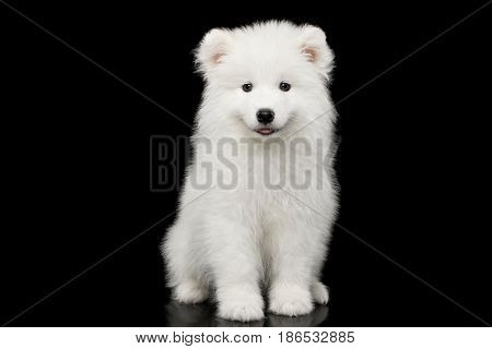 Cute White Samoyed Puppy Sitting isolated on Black background, front view