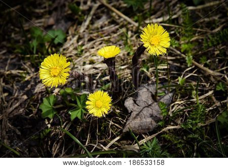 nature seasonal background Four yellow coltsfoot flowers