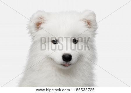 Portrait of Furry Samoyed Puppy isolated on White background, front view