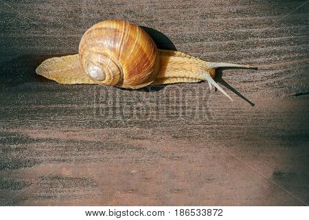 Burgundy snail (Helix pomatia Roman snail edible snail escargot) crawling on wooden surface. Top view with copy space