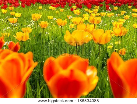 A field of glorious yellow, red and orange tulips in springtime.