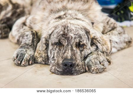 Spanish mastiff dog resting on the floor. Dog sleeping