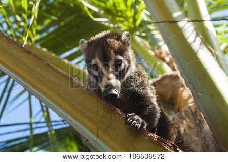 Female white nosed coati sitting in a palm tree.
