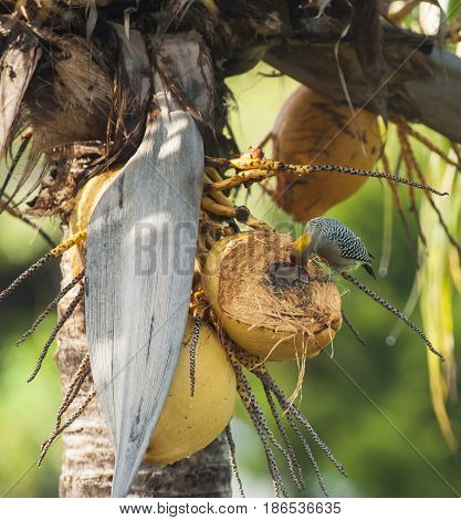 Hoffman's woodpecker eating coconut in a palm tree