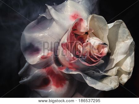 Bloodied Wet Flower Of A Withering White Rose