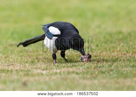 Eurasian magpie (Pica pica) with chick prey on grass. Bird in the crow family (Corvidae) with prey taken from nest of songbird