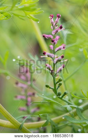 Common fumitory (Fumaria officinalis) plant in flower. A scrambling annual plant in the poppy family Fumariaceae with purple and white flowers