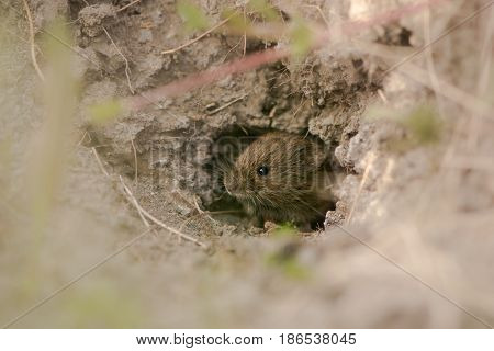 Field vole (Microtus agrestis) emerging from hole. A small mammal in the family Cricetidae leaving burrow under ant-hill