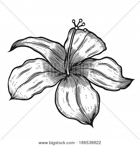 Hibiscus flower in a vintage woodcut engraved etching style