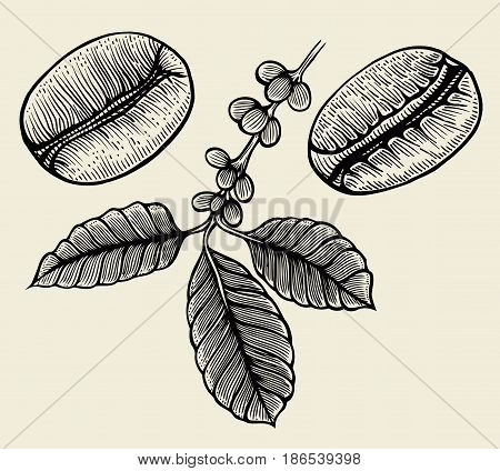 Hand drawn arabica beans. Black on beige background. Hand drawn sketch vector illustration coffe.