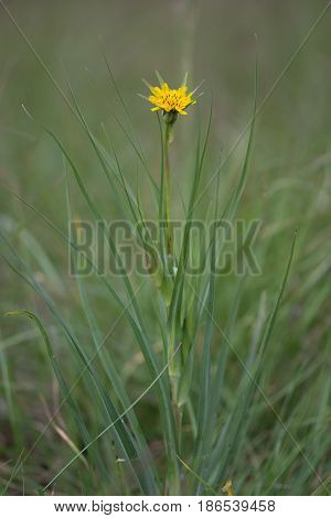 Goat's-beard (Tragopogon pratensis) plant. Plant in the daisy family (Asteraceae) with bright yellow flowerheads long bracts and linear lanceolate leaves