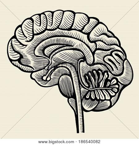 Human brain - vintage engraved illustration. Vector illustration