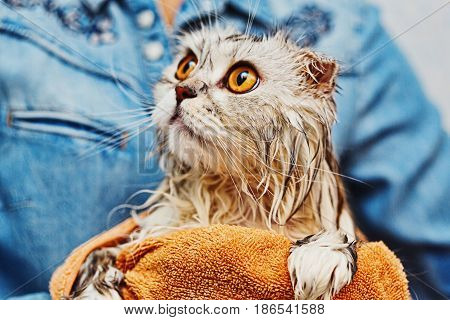 Wet just washed cat of highland fold breed in owner's hands