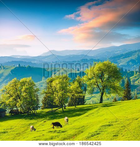 Valley With Cow