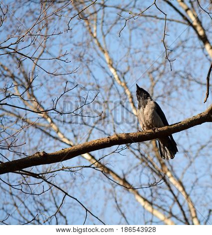 Crow sits on a branch and looks up