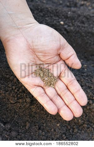 Sow vegetable seeds. Woman's hand makes small seeds in the black earth land closeup.