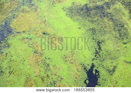 Green duckweed on the water can be used as a background.