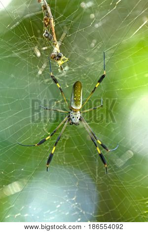 Golden Orb Spider in the Forest in Tortuguero National Park in Costa Rica