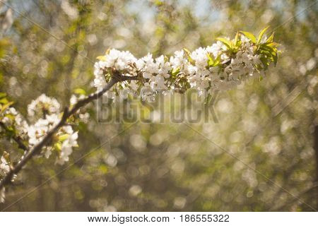 Spring. Apple Trees In Blossom. Flowers Of Apple. White Blooms Of Blossoming Tree Close Up. Beautifu