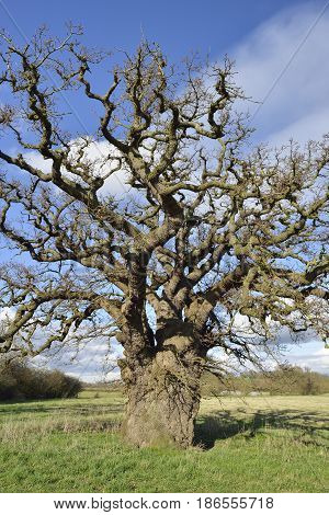 Pedunculate (English) Oak Tree - Quercus robur in field Severn Vale Gloucestershire