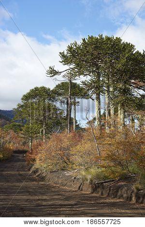 Araucania Trees (Araucaria araucana) in Conguillio National Park in southern Chile.