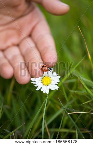 Child's hand helping a ladybird onto a flower. Shallow depth of field grain and soft focus added for effect.