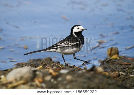 A male Pied Wagtail wading through shallow water