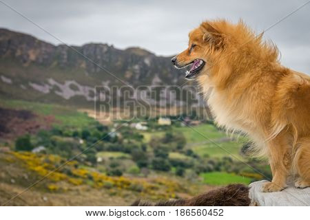 Dog sitting on a donkey with the beautiful rural Irish landscape of Kerry county in the background, Ireland