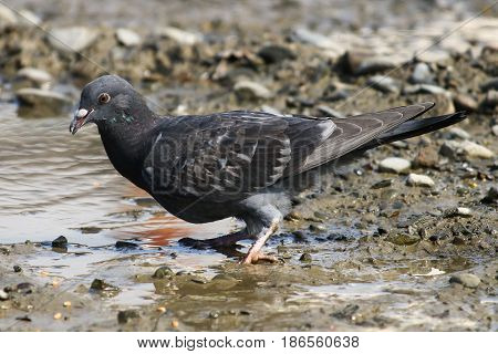 A dark feathered fledgling pigeon at the water's edge