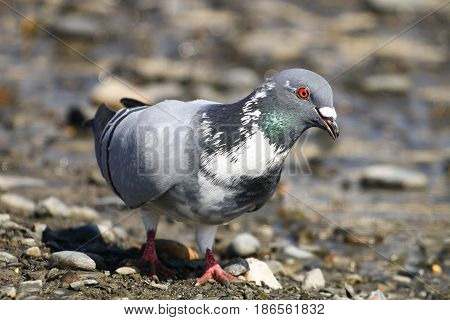 A feral pigeon with white patches in it's feathers