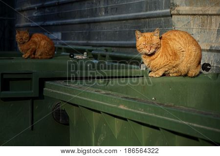 Two of the same kind orange homeless shabby dirty stray cats lying on garbage container in small alley. Close up selective focus on the first cat. Abandoned animals concept. Homeless animals concept.