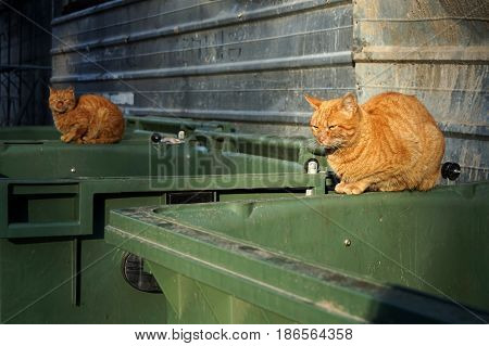 Two of the same kind orange homeless shabby dirty stray cats lying on the garbage container in small alley. Close up selective focus on the first cat . Abandoned animals concept.