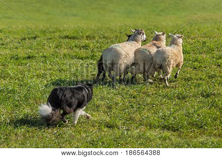 Sheep Dog Lines Up Group of Sheep (Ovis aries) - at sheep dog herding trials