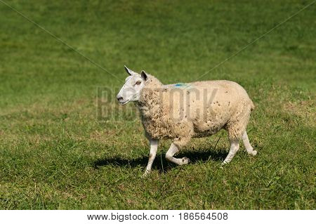 Sheep (Ovis aries) Goes Left With Grass in Mouth - at sheep dog herding trials