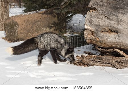 Silver Fox (Vulpes vulpes) Sniffs at Log - captive animal