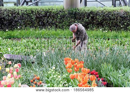 Bodelva, Cornwall, Uk - April 4 2017: Gardening Staff Working In The Tulip Beds At The Eden Project