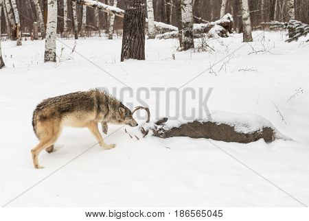 Grey Wolf (Canis lupus) Sniffs at Deer Carcass - captive animal
