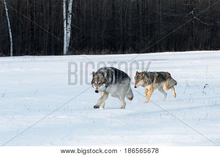 Pair of Grey Wolves (Canis lupus) Run Together in Field - captive animals