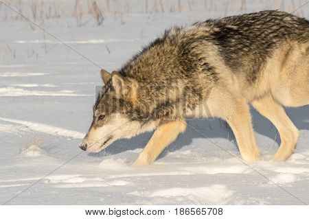 Grey Wolf (Canis lupus) Nose Down Goes Left - captive animal