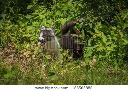Silver Fox and Marble Fox (Vulpes vulpes) Looks Out From Weeds - captive animals