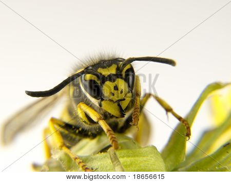 a Macro of a European wasp yellow and black markings poster