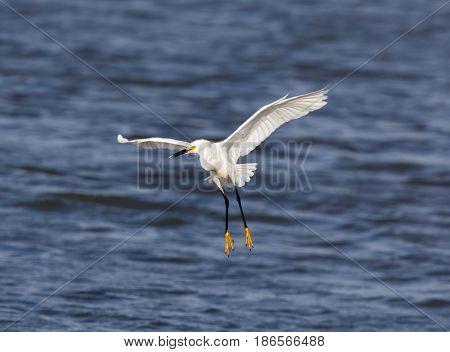 Snowy Egret (Egretta thula) Landing. Santa Clara County, California, USA.