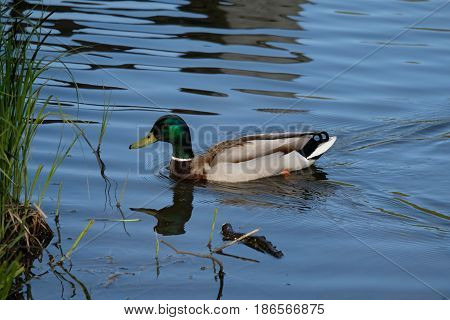 A drake is swimming in a pond - Tsaritsyno park - Moscow, Russia