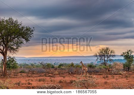 Golden Sunrise In The African Bush. Giraffe Walking In Wonderful Landscape And Dramatic Colorful Sky