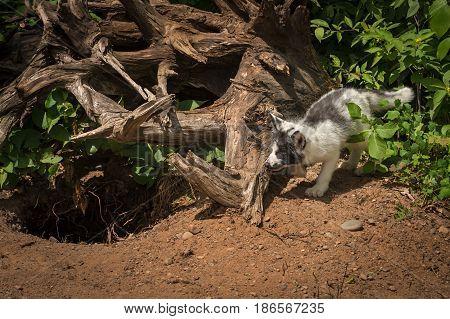Marble Fox (Vulpes vulpes) Stalks Around Roots - captive animal