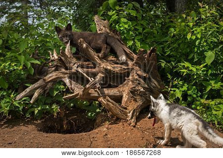 Silver Fox (Vulpes vulpes) Stands on Roots Above Marble Fox - captive animals