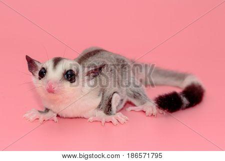 Cute Sugar Glider Leucistic . Petaurus Breviceps, On Pink Background